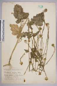 Brassica nigra herbarium specimen from Hitchin, VC20 Hertfordshire in 1924 by Mr Joseph Edward Little.