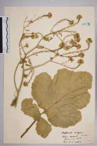 Brassica nigra herbarium specimen from Stone Marshes, VC16 West Kent in 1938 by Rev. Philip Henry Cooke.