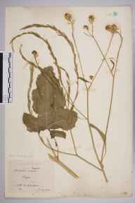Brassica nigra herbarium specimen from Leigh, VC18 South Essex in 1910 by William Robert Sherrin.