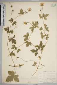 Geranium versicolor herbarium specimen from Pelynt, VC2 East Cornwall in 1900 by Mr Allan Octavian Hume.