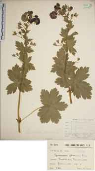 Geranium phaeum herbarium specimen from Ponsanooth, VC1 West Cornwall in 1903 by Mr Frederick Hamilton Davey.