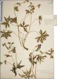 Geranium pratense herbarium specimen from River Usk, VC35 Monmouthshire in 1839 by A Hamburgh.