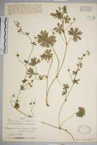 Geranium molle herbarium specimen from Lawrence Weston, VC34 West Gloucestershire in 1926 by Mr James Walter White.