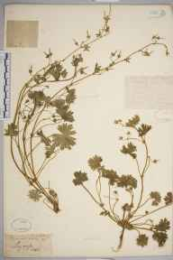 Geranium molle herbarium specimen from Christchurch, VC11 South Hampshire in 1879.