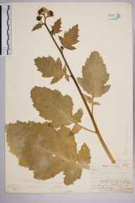 Sinapis arvensis herbarium specimen from Leith Docks, VC83 Midlothian in 1906 by William Henry Griffin.
