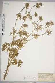 Geranium dissectum herbarium specimen from Great Bookham Common, VC17 Surrey in 1953 by Mrs Joan Frances Hall.