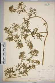 Geranium dissectum herbarium specimen from Niton, VC10 Isle of Wight in 1898 by Mr Allan Octavian Hume.