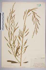 Sinapis arvensis herbarium specimen from Norwood, VC17 Surrey in 1906 by William Henry Griffin.