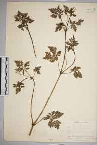 Geranium robertianum herbarium specimen from Carbis Bay, VC1 West Cornwall in 1899 by Mr Allan Octavian Hume.