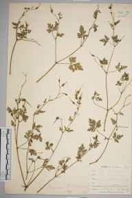Geranium robertianum herbarium specimen from Cadgwith, VC1 West Cornwall in 1899 by Mr Allan Octavian Hume.