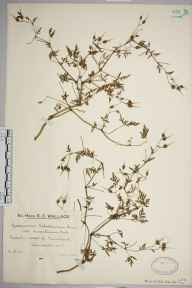 Geranium robertianum herbarium specimen from Minehead, VC5 South Somerset in 1929 by Mr Edward Charles Wallace.
