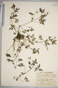 Geranium robertianum var. maritimum herbarium specimen from Minehead, VC5 South Somerset in 1929 by Mr Job Edward Lousley.