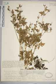 Geranium robertianum var. maritimum herbarium specimen from VC37 Worcestershire in 1928 by Mr Joseph Edward Little.
