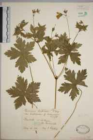 Geranium endressii herbarium specimen from Goonbell, Saint Agnes, VC1 West Cornwall in 1928 by Mr Francis Rilstone.
