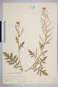 Erucastrum gallicum herbarium specimen from Merton, VC17 Surrey in 1928 by Mr Charles Edward Britton.