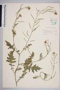 Erucastrum gallicum herbarium specimen from Arlesey, VC20,VC30 in 1957 by John George Dony.