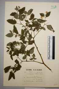 Impatiens biflora herbarium specimen from Woking, VC17 Surrey in 1932 by Richard Barker Ullman.