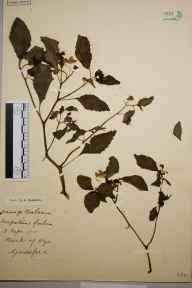 Impatiens biflora herbarium specimen from Guildford, VC17 Surrey in 1900 by S A Chambers.