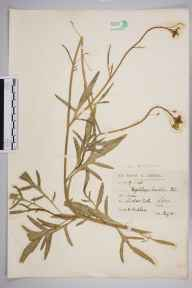 Diplotaxis tenuifolia herbarium specimen from Ludlow Castle, VC40 Shropshire in 1905 by Mr Spencer Henry Bickham.