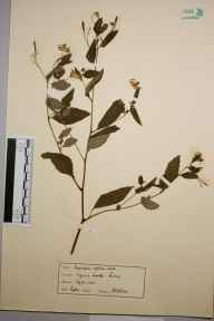 Impatiens biflora herbarium specimen from Virginia Water, VC17 Surrey in 1923 by Rev. J H Bloom.