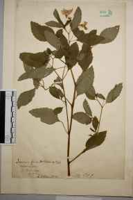Impatiens biflora herbarium specimen from Uxbridge, VC21 Middlesex in 1901 by Charles Baylis Green.