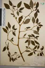 Impatiens biflora herbarium specimen from Catford, VC16 West Kent in 1903 by William Henry Griffin.