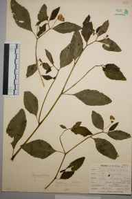 Impatiens biflora herbarium specimen from Shortlands, Bromley, VC16 West Kent in 1898 by Mr Allan Octavian Hume.