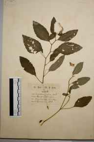 Impatiens biflora herbarium specimen from Weybridge, VC17 Surrey in 1871 by Mr William Hadden Beeby.