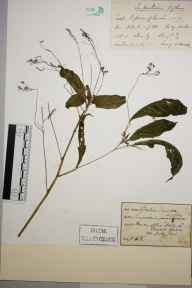 Impatiens biflora herbarium specimen from Box Hill, VC17 Surrey in 1893 by Prof., Sir Jethro Justinian  Harris Teall (Dulwich College).