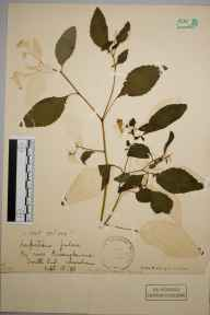 Impatiens biflora herbarium specimen from Lewisham, VC16 West Kent in 1898.