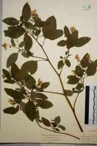 Impatiens biflora herbarium specimen from Rickmansworth, VC20 Hertfordshire in 1922 by Mr Isaac A Helsby.