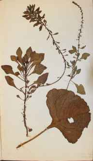 Beta vulgaris subsp. maritima herbarium specimen from Dover, VC15 East Kent in 1834.
